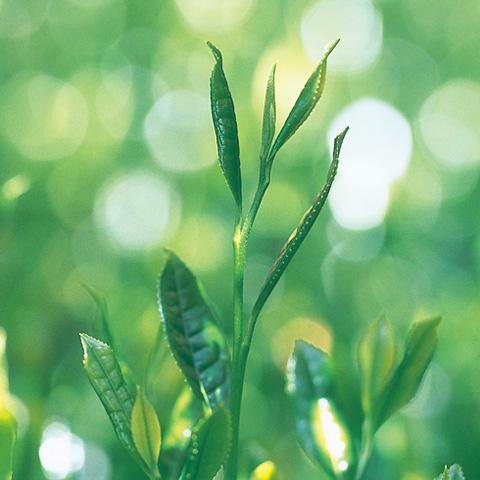 自然を尊び、季節の移ろいと共に暮らす日々。その中で、心静かにいただく一服のお茶の豊かな風味を私達は大切にしたいと思います。